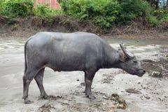 Búfalo que se coloca en el camino Foto de archivo