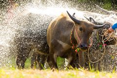 Búfalo que toma o chuveiro Fotografia de Stock