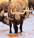 Búfalo que toma una bebida Imágenes de archivo libres de regalías
