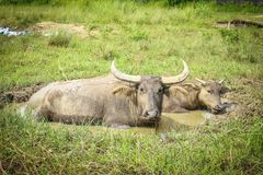 búfalo que vive en el prado Imagen de archivo