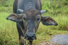 búfalo que vive no prado Foto de Stock