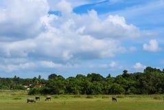 búfalo que vive no prado Foto de Stock Royalty Free