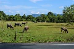 búfalo que vive no prado Fotografia de Stock