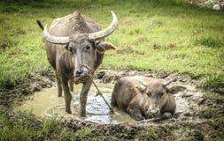 búfalo que vive no prado Imagens de Stock