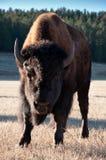 Búfalo salvaje Fotografía de archivo libre de regalías
