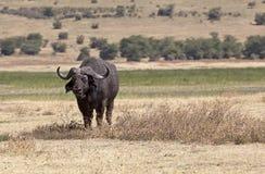 Búfalo salvaje Imagen de archivo libre de regalías