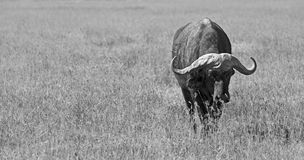 Búfalo salvaje blanco y negro Imágenes de archivo libres de regalías