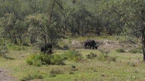 Búfalo salvaje Graze On The Grassland Near los arbustos en la sabana africana almacen de metraje de vídeo