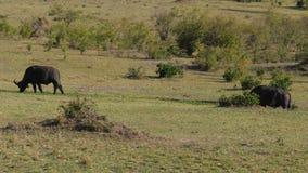 Búfalo salvaje Graze In The Plain Near los arbustos en la sabana africana almacen de video