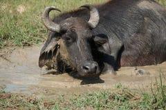 Búfalo selvagem na lama Fotos de Stock Royalty Free