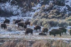 Búfalo selvagem no inverno - parque nacional de Yellowstone imagens de stock royalty free