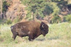 Búfalo solitario Bull imágenes de archivo libres de regalías
