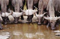 Búfalo, Suráfrica Imágenes de archivo libres de regalías