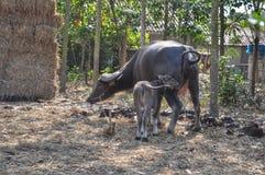 Búfalo tailandés imagenes de archivo