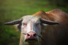 Búfalo tailandés blanco Fotos de archivo libres de regalías