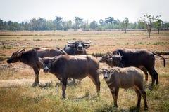 Búfalo tailandés en campo del arroz, búfalo de agua en Tailandia Imagenes de archivo