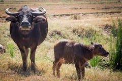 Búfalo tailandés en campo del arroz, búfalo de agua en Tailandia Foto de archivo libre de regalías