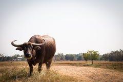 Búfalo tailandés en campo del arroz, búfalo de agua en Tailandia Imágenes de archivo libres de regalías