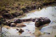 Búfalo tailandés en campo del arroz, búfalo de agua en Tailandia Fotografía de archivo libre de regalías