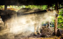 Búfalo tailandés en jaula Imagen de archivo
