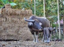Búfalo tailandês imagem de stock