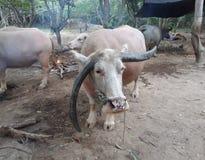 Búfalo tailandês Imagens de Stock