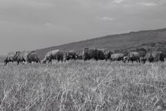 búfalo tailandês no campo Fotografia de Stock