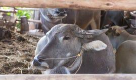 Búfalo Tailandia Imagen de archivo libre de regalías