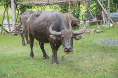 Búfalo Tailandia Fotos de archivo