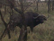 Búfalo Tanzânia Foto de Stock