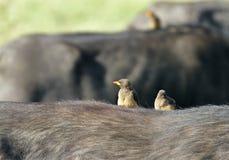 Búfalo-tecelões Vermelho-faturados Fotos de Stock Royalty Free