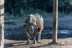 Búfalo: un animal grande de la familia del ganado, con de largo, curvó imagen de archivo libre de regalías