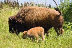 Búfalo y becerro Foto de archivo