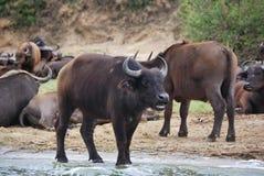 Búfalos, África Fotos de archivo libres de regalías