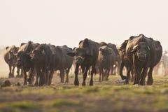 Búfalos Imagens de Stock