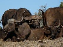 Búfalos africanos Fotografia de Stock