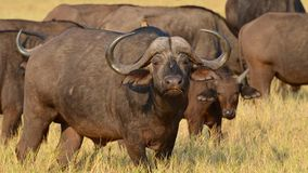 Búfalos africanos Imagem de Stock Royalty Free