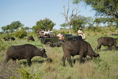 Búfalos africanos com os turistas no fundo Foto de Stock