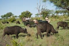 Búfalos africanos con los turistas en fondo Foto de archivo