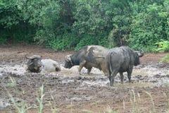 Búfalos africanos en baño de fango Fotos de archivo libres de regalías