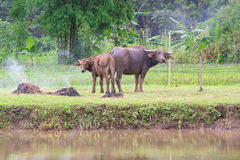 búfalos: animais, mamíferos, animais de estimação, porque os fazendeiros alimentam o gado como Fotos de Stock