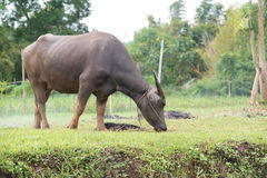 búfalos: animais, mamíferos, animais de estimação, porque os fazendeiros alimentam o gado como Imagem de Stock