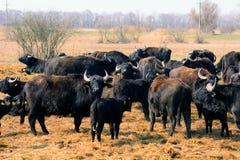 Búfalos, Apajpuszta, Hungria Fotos de Stock