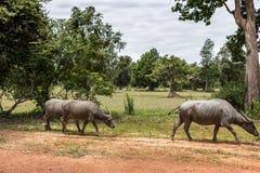 Búfalos asiáticos Imagen de archivo libre de regalías