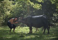 Búfalos asiáticos del granjero y de agua Fotos de archivo libres de regalías