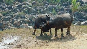 Búfalos asiáticos que pastan almacen de metraje de vídeo