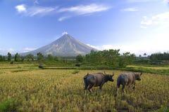 Búfalos bajo el volcán de Mayon Foto de archivo