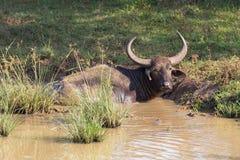 Búfalos de água Fotos de Stock
