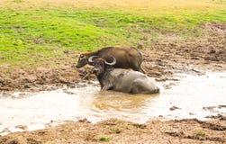 Búfalos de água Imagens de Stock