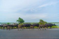 Búfalos de água Imagem de Stock